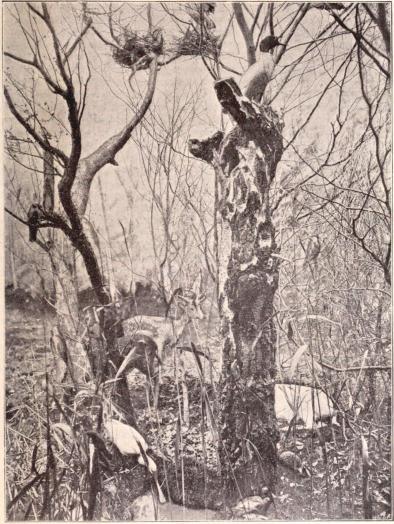 Interiörer från Biologiska Muséet å Utställningen. I. Skogsparti med rådjur och häckande foglar m. m.<bEfter fotografier från B. Orling, Stockholm (se sid. 114).