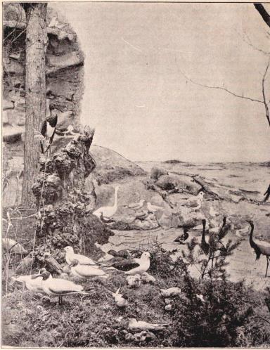 Interiörer från Biologiska Muséet å Utställningen. II. Strandparti med sjöfogel m. m.<bEfter fotografier från B. Orling, Stockholm (se sid. 114).