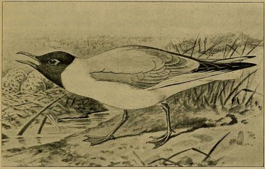 Fig. 2. Hættemaage i Sommerdragt. (Efter Forbes i British Birds).