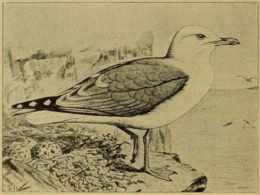 Fig. 4. Sølvmaage. (Efter Forbes i British Birds).