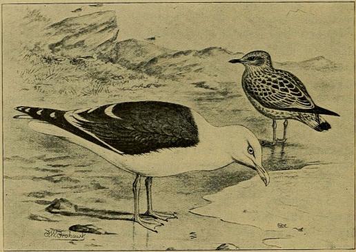 Fig. 5. Sildemaage, gammel og ung Fugl.<b(Efter Forbes i British Birds).