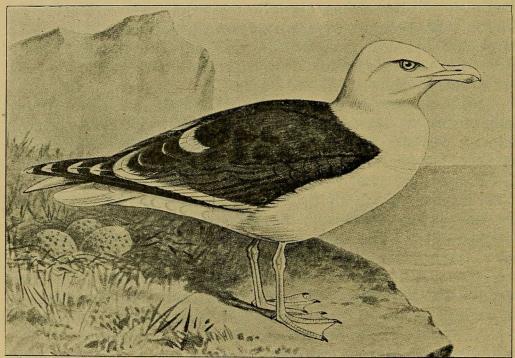 Fig. 6. Svartbag. (Efter Forbes i British Birds).