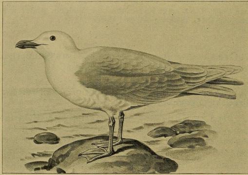 Fig. 7. Graamaage. (Efter Lønnberg i Svenska Fåglar).