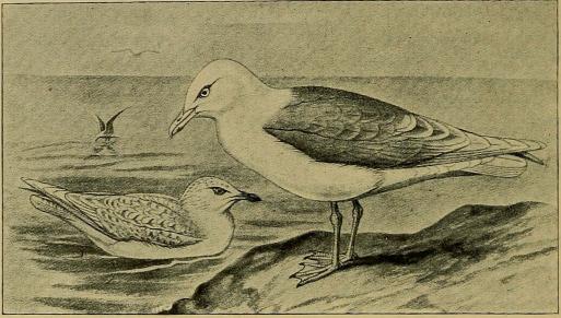 Fig. 8. Hvidvinget Maage. (Efter Forbes i British Birds).