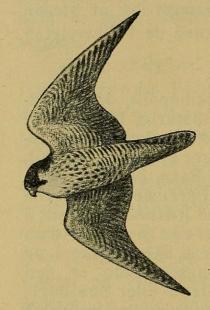 Fig. 81. Flyvende Vandrefalk. (Efter Schiøler).