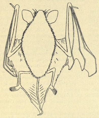 Fig. 11. Skjægflagermus. Set fra Ryggen. Naturlig Størrelse. Nærmest<bfor at vise, at ingen fri Hudlap findes bag Sporebrusken ved Hælen.<b