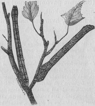 Bild 4. Två larver  af en malfjäril (Geometra betularia) i hvilande<bställningar, styft utsträckta såsom pinnar, med hvilka de hafva en<bunderbar likhet. Nat. st.