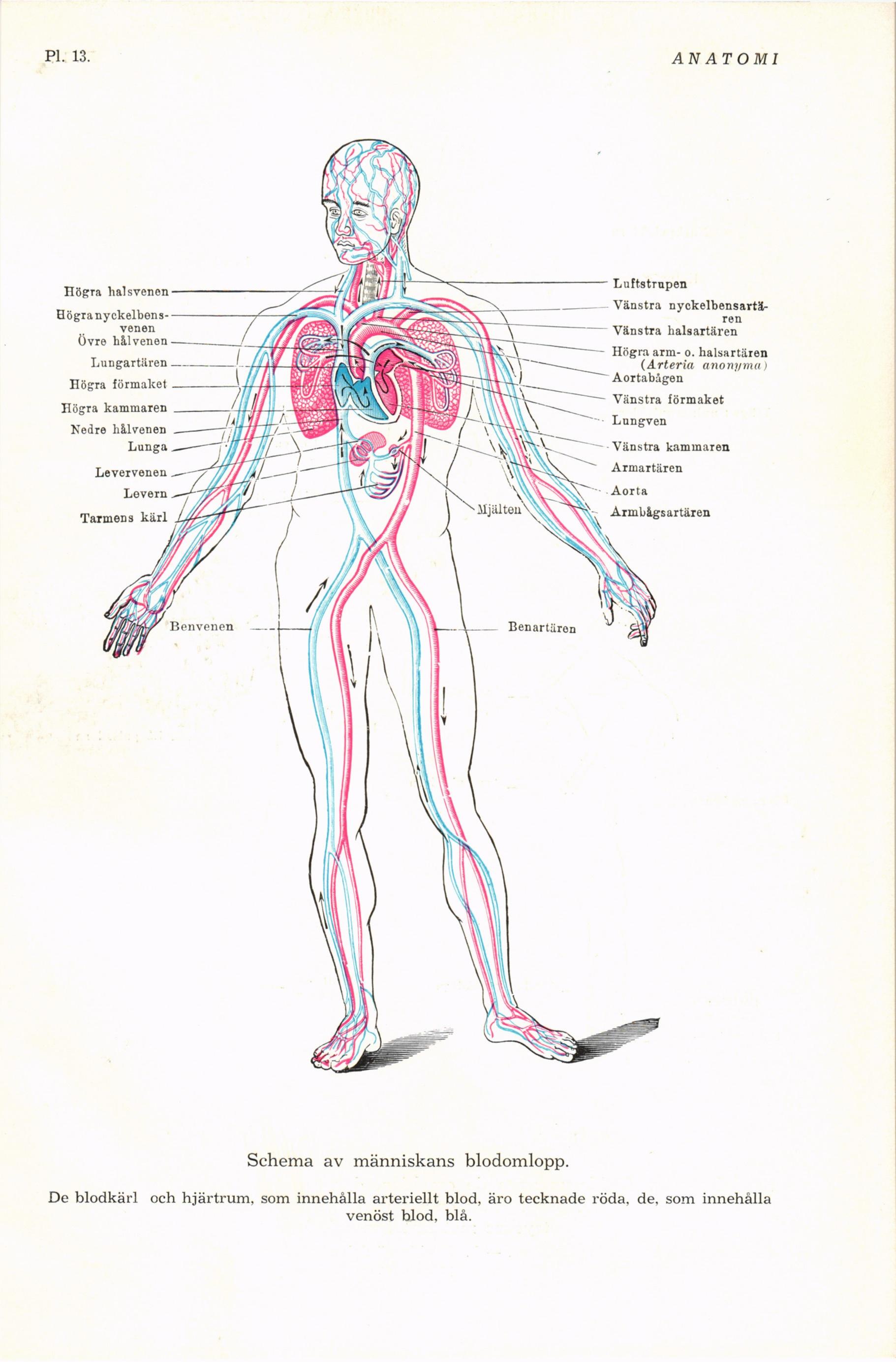 Ziemlich Anatomie Der Halsvenen Fotos - Menschliche Anatomie Bilder ...