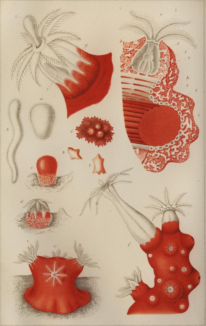 Den röda Korallpolypens utveckling och bygnad efter Lacaze Duthiers.