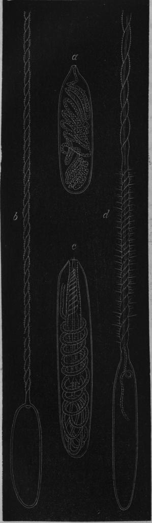 Bild 3.<b<ba visar vid 700<bgångers förstoring ett<bnässelorgan af en actinia. Dess<bverkliga längd är endast<b<smal<su1</su</smal/<smal<su350</su</smal tum; det utgöres af<ben säck, som innesluter<ben hoprullad, elastisk<btråd; hvilken vid b ses<butsträckt; den är<bspiralvriden såsom en skruf<boch tätt besatt med små<bhullingar, c och d äro<bnässelorgan af en<bkorallpolyp (Caryophyllia<bSmithii).