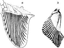 <bFig. 47. Bröstfena a af Cladoselache, en hajfisk<bfrån devontiden (efter Dean), b af en nu lefvande<bhaj, pigghajen.<b