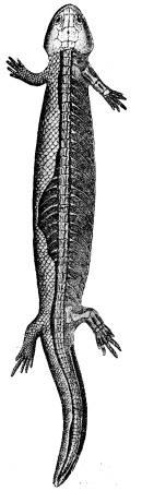 Fig. 55. Hypoplesion, ett amfibieliknande kräldjur<bfrån permperioden (efter Fritsch).<b
