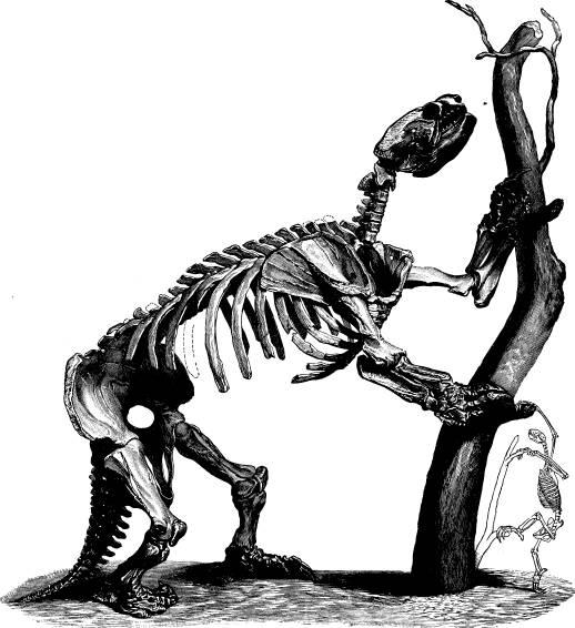 <bFig. 62. Skelett af ett fossilt jättetrögdjur<b(Mylodon) jämfördt med skelettet af ett modärnt<btrögdjur (efter Pictet-Kiaatsch).<b