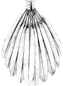 <bFig. 65. Svanskotor med stjärtpennorna af en<bnutida fågel.<b