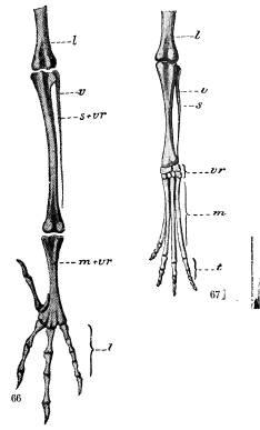 <bFågelfoten fig. 66 i utbildadt tillstånd, fig. 67<bhos fostret. l undre delen af lårbenet, v vadbenet,<bs skenbenet, s + vr skenbenet och öfre vristbensraden<bsammanväxta, vr vristbenen, m mellanfotbenen, m + vr<bmellanfoten och undre vristbensraden sammanväxta,<bt tåleder.<b