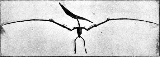 <bFig. 77. Den yngsta af flygödlorna. (Pteranodon,<befter Eaton).<b