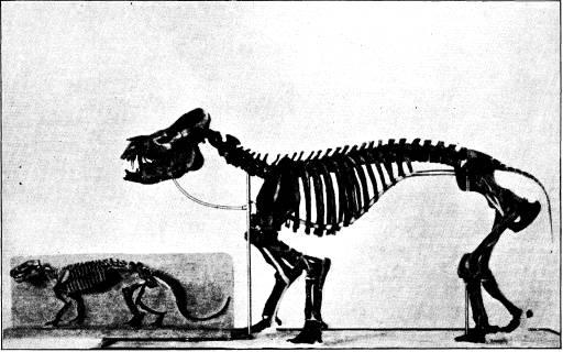 <bFig. 80. Skelett af Pantolambda (den mindre), <bett af de äldsta tertiärdäggdjuren, och af Coryphodon, <bett hofdjur från något yngre tid (efter Osborn).<b