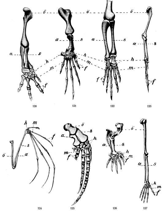 Främre lemmens skelett fig. 120 af salamander, fig. 121 af hafssköldpadda,<bfig. 122. af krokodil, fig. 123 af fågel, fig. 124 af flädermus, <bfig, 125 af hval, fig. 126 af mullvad, fig. 127 af människa, <bö öfverarmben, s strålben, a armbågsben, h handrotsben,<bm mellanhandsben, f fingerben.