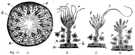 Fig. 14.  A.B.C.D.<b<bFig. visar: A en kanal ur testikeln i tvärgenomskärning och betydligt förstorad med<bhylle (a), dettas inre cellbeläggning (b), sädesalstrande elementer (c) och sädesceller (s);<bvidare B moget sädesalstrande element i ytterligare förstoring; C detsamma med frigjorda<bsädestrådar; D detsamma i omoget tillstånd.