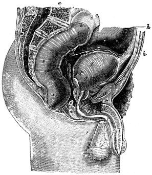 Fig. 16. Fig. visar de yttre och inre manliga könsdelarna i kroppens medellinea längs<bmed genomskurna, så att den vänstra hälften af dem synes.<b<bBokstäfverna i figuren angifva följande anatomiska delar: a sista ländkotan, b<bkorsbenet, c stjärtbenet, d blygdbenet, e ändtarmen, f urinblåsan, g urinledaren, som leder urinen<bfrån njurarna till blåsan, h bukhinnan, som bekläder bukens inälfvor, i manslemmen, k vänstra<broten för lemmen, l urinröret, m urinrörets bakre utsvällda del (»löken»), n urinrörets<bmembranösa del, o blåskörteln, p sädesblåsorna, q sädesledaren, r bitestikeln, s testikeln, t<btestikelns senhinna, u sädessträngen med kärl och nerver, v Cowpers körtlar.<b