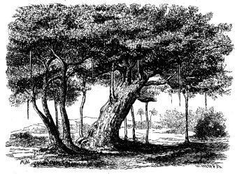 Badianen eller heliga fikonträdet.