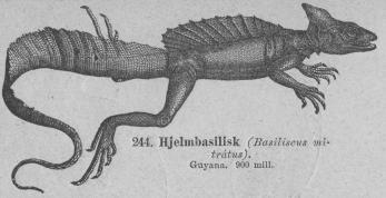 <b244. Hjelmbasilisk (Basiliscus mitrátus).<bGuyana.   900 mill.