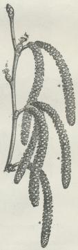 Fig. 1.<bGren af Alm. Hassel<bmed Hanrakler (a)<bog Hunrakler (b).