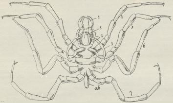 Havedderkop. Han set fra Bugsiden. 1—7 Lemmer, 3 æguæreade; s Snabel;<bab Bagkrop.