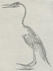 Rekonstruktion af Skelet af Hesperornis.