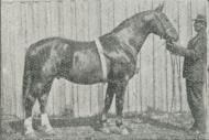 Fig. 21. »Pasha«, Hingst af Frederiksborg-Racen.