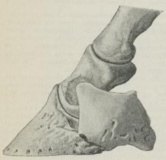 Fig. 1. Hovbenet med Dragtbrusk, Kronbenet og den<bnederste Ende af Kodebenet. (Efter <span class=