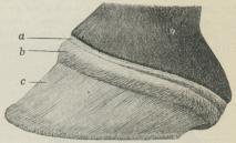 Fig. 2. Hovens Læderhud, set fra Siden, a<bKronbæltet, b Læderhudkronen, c Læderhudvæggen.