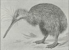 Kiwi (Apteryx australis).