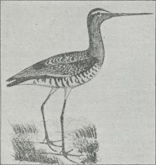 Fig. 2. Sorthalet Kobbersnæppe (Limosa ægocephala).