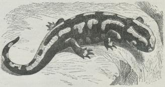 Ildsalamander (Salamandra maculosa).