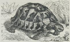 Fig. 1. Græsk Skildpadde (Testudo græca).