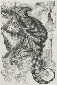 Fig. 3. Basiliscus americanus.