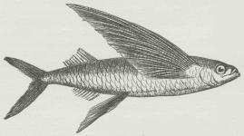 Flyvefisk (Exocoetus).