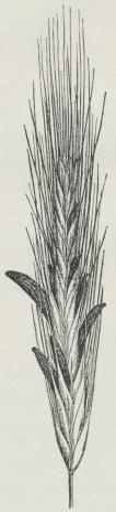 Fig. 1. Rugaks med<bmodne Sklerotier.