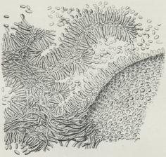 Fig. 6. Del af Snit gennem en af Meldrøjer angreben<bGræsfrugt. Til højre Sklerotiet, den øvrige Del det<bKonidie-afsnørende Sphacelia-Stadie.