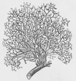 Fig. 1. Mistelten. Den tykke Gren tilhører Værtplanten.