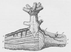 Fig. 2. Mistelten, a Stammen af en ældre Plante; h<bdens Ved; i Del af Sænkeren; ff Barkstrenge, ved g<bmed 2 Knopper; ee sekundære Sænkere; cc Barken i<bGrenen af Værtplanten; bb Veddet af samme, der ved<bdd er skaaret halvvejs over paa tværs.