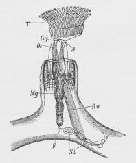 Fig. 4. Plumatella repens.<bT Tentakler, Oe Spiserør,<bMg Mave, A Gat, F Funiculus, St Statoblast,<bGg Nerveknude, Rm Retraktor.