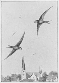 Fig. 1. Mursvale (Cypselus apus).