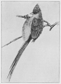 Musefugl (Colius capensis)
