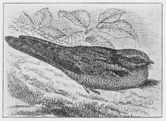Fig. 4. Natravn (Caprimulgus europæus).