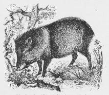 Navlesvin (Dicotyles torquatus).