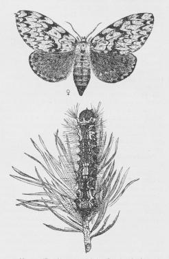 Nonne (Bombyx monacha).<bSommerfugl og Larve.