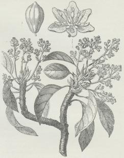 Persea gratissima. Foroven Blomst (forstørret)<bog Frugt (formindsket).