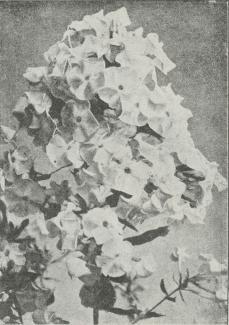 Phlox decussata.